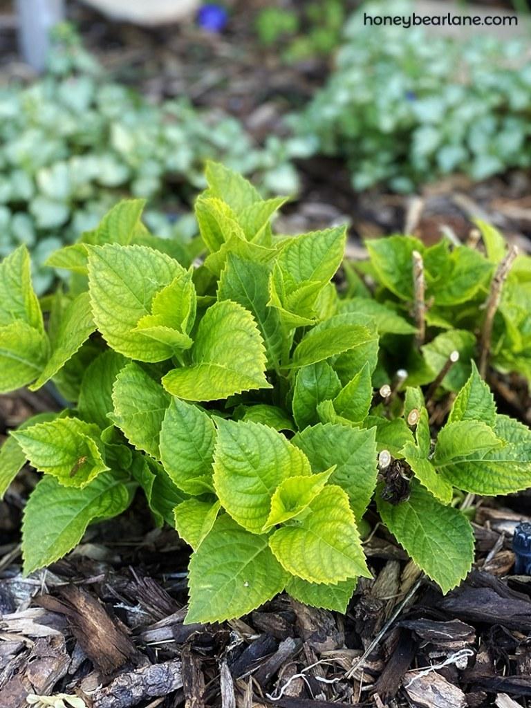 hydrangeas are often in shade gardens but need adequate sun