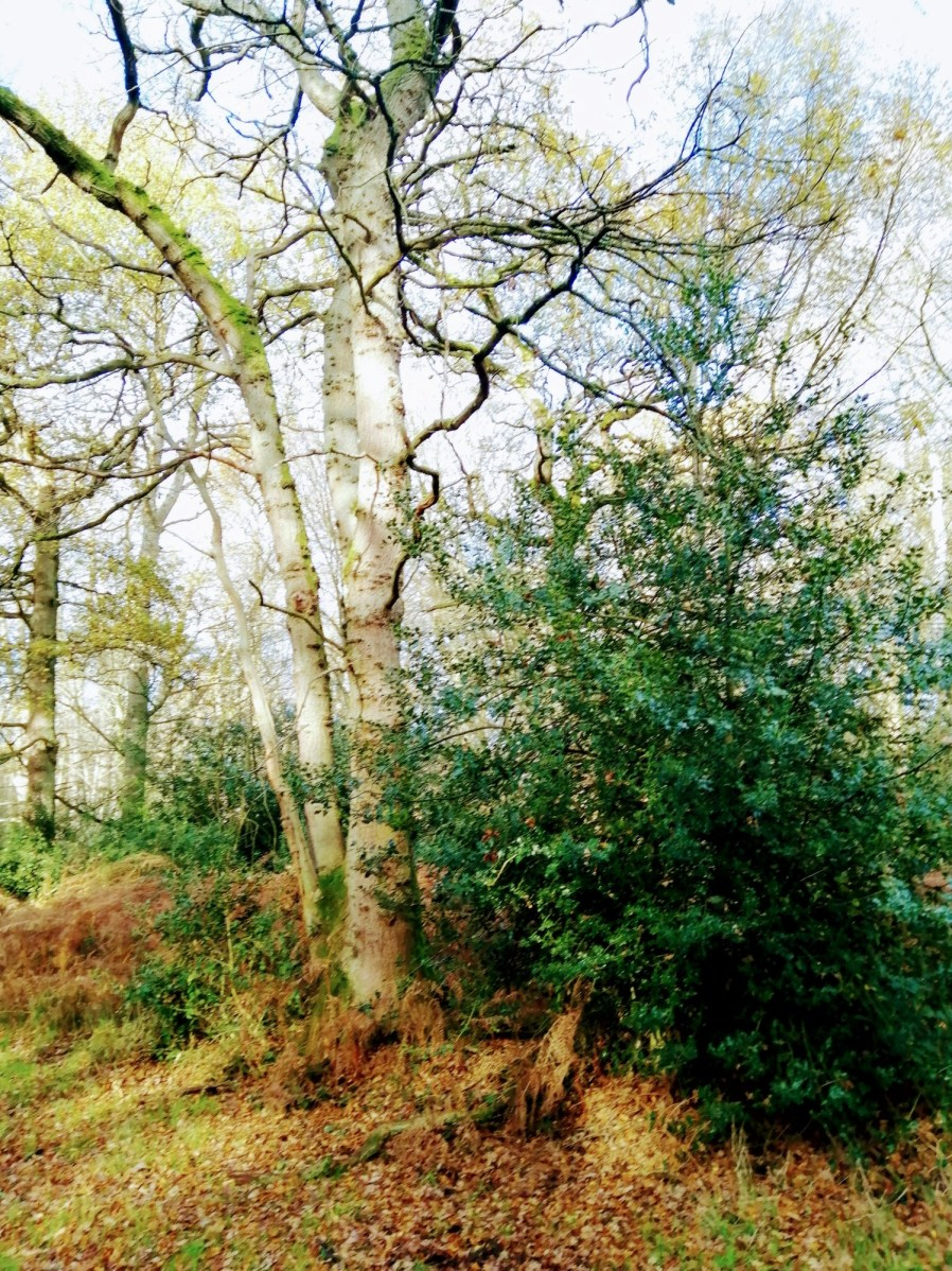 Holly woodland