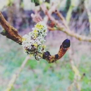 Ash tree buds