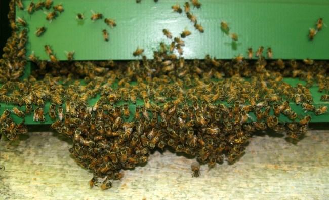 Bees bearding below a Langstroth hive.