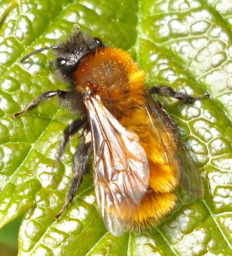 Mining Bees Are Wild Bees That Live Underground Honey Bee Suite