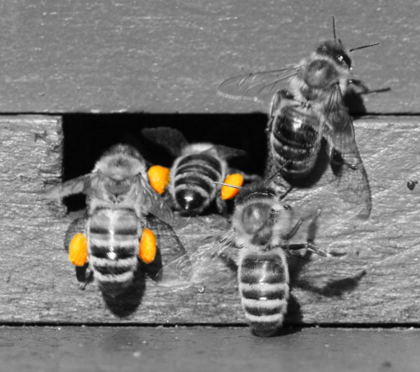 You don't need to feed pollen supplement once your honey bees begin to collect fresh pollen. The honey bees here have pollen baskets full of bright yellow pollen.