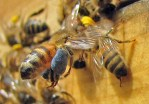 Floral fidelity yields pure pollen pellets