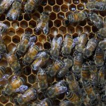 Api memorizzazione polline a Shady Grove Farm, Kentucky.  Foto di Nan.