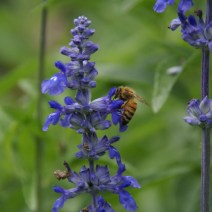 Bee foraging su salvia.  Foto di Beverly Orthwein.