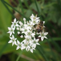 Drone fly on a garlic chive by Peg Goter, Middletown, Rhode Island.