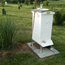 Graminacee ornamentali utilizzano per un parabrezza.  Herb Lester apiari, Tennessee.