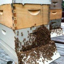 """""""I miei api appeso 'fuori sotto il portico in una serata calda estate"""" di Debbe Krape, Delaware."""