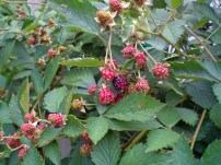 Partially pollinated blackberries. Photo by point09acres.