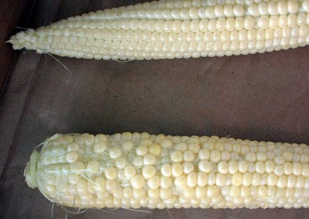 Sweet corn, partially pollinated. Photo by Dave Dupler.