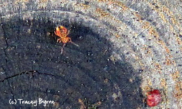 Springtail by Tracey Byrne.
