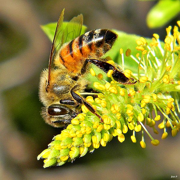 Bees behind bars: Honey_Bee_in_Willow_Trees_bob peterson