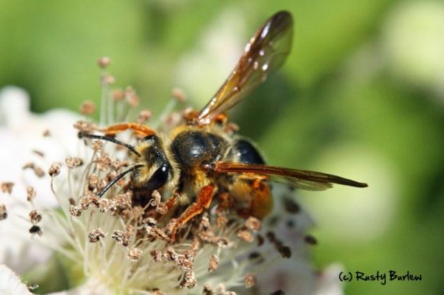 Andrena prunorum