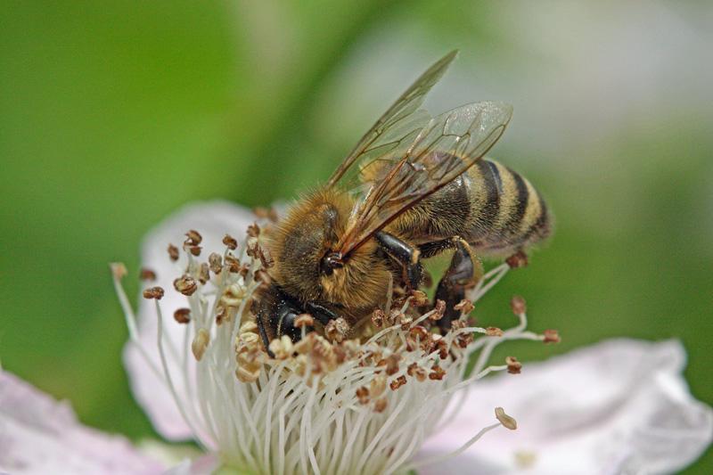 Honey-bee-on-blackberry