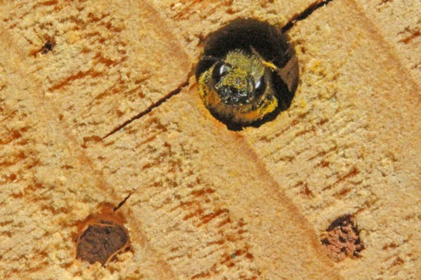 Osmia-looking-out