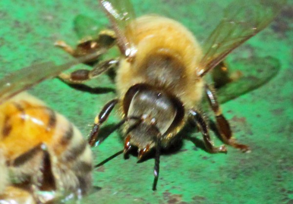 A worker bee ready to bite.