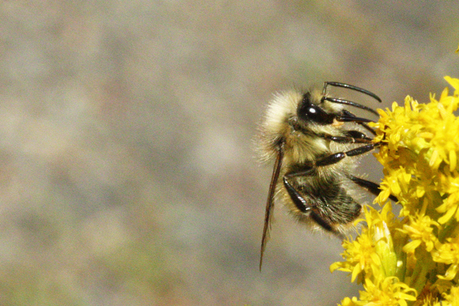 Bumble-bee-on-goldenrod-648