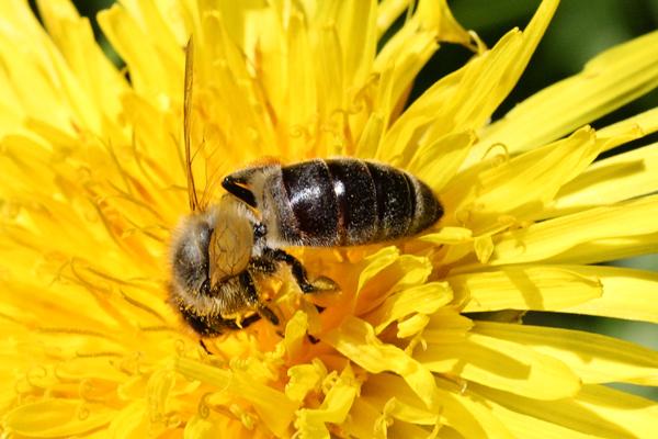 Honey-bee-abdomen