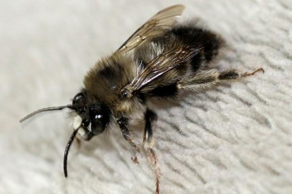 Bee_3244-Rusty-Burlew