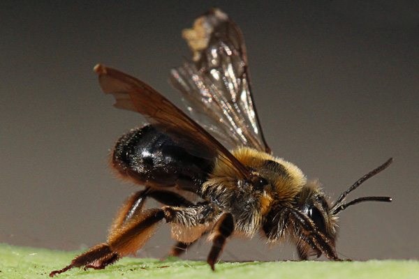 Andrena-with-worn-wings