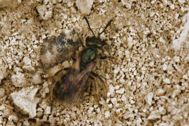 The bee begins to rebuild her entryway. © Rusty Burlew.