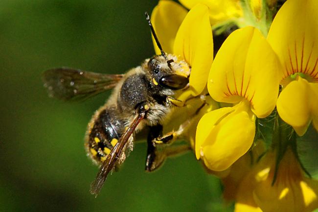 Wool carder bee nectaring. © Rusty Burlew.