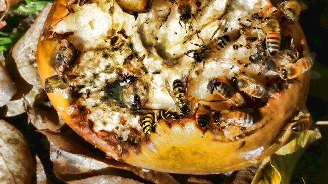 Yellowjackets and honey bees share a meal. Photo © Manuel.
