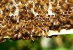 Honey bees on a frame
