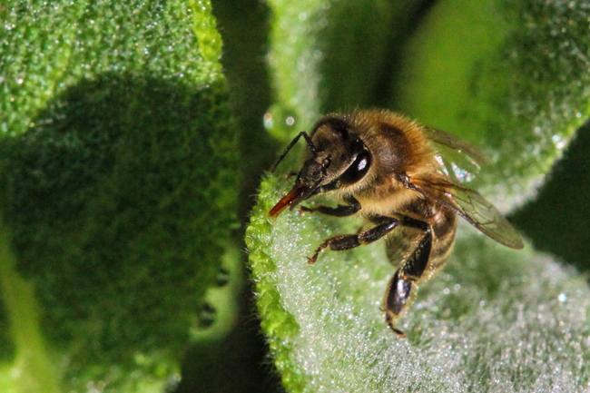 Bee-collecting-water-on-lamb's-ear