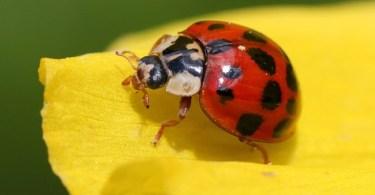 Lady bug on a yellow petal.