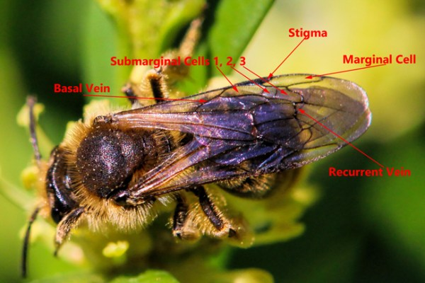 The Andrena marginal cell is shorter and comes to a point on the edge of the wing.