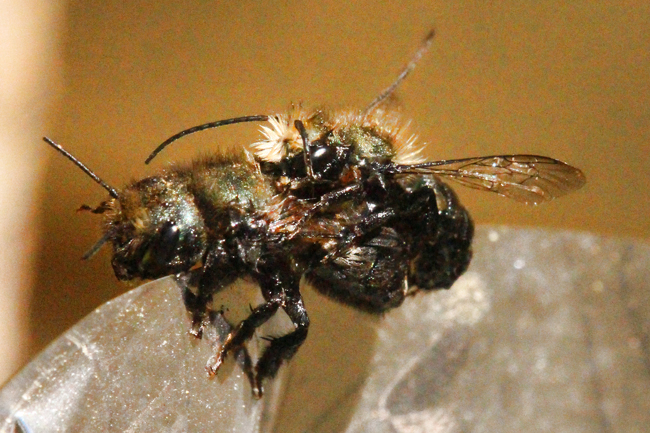 The  bee couple sitting on a piece of foil, dripping wet.