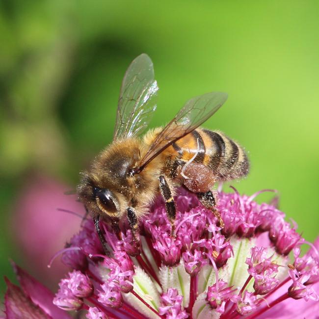 Bee-with-stamen-Christopher-Wren-650px
