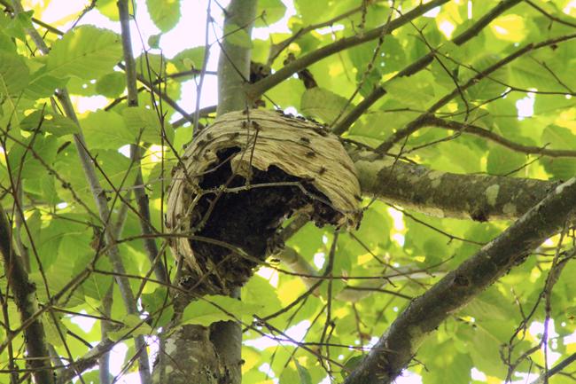 Yellowjacket-nest