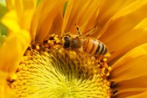 Bee-on-small-sunflower