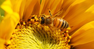 Bee-on-small-sunflower