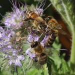 Honey-bees-in-phacelia