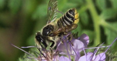 Leafcutter-she-bee
