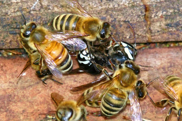 Honey bee stingers kill a hornet.