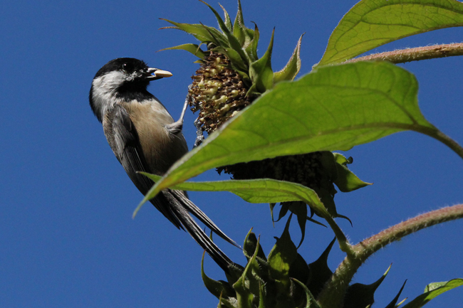 Chickadee-in-sunflowers-4