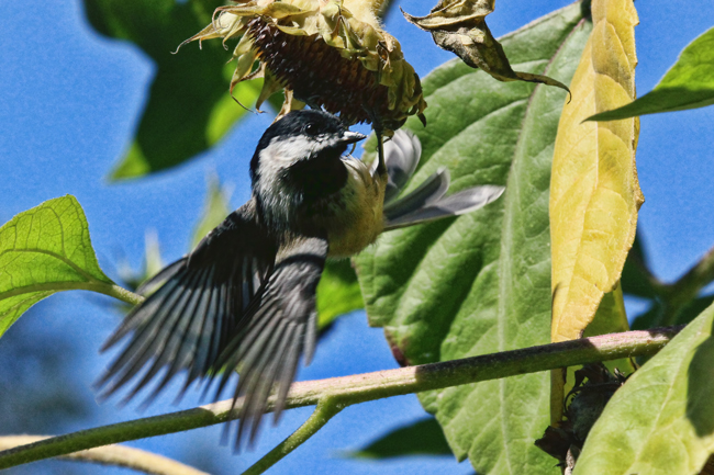 Chickadee-in-sunflowers