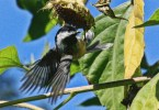 Chickadee-in-sunflowers