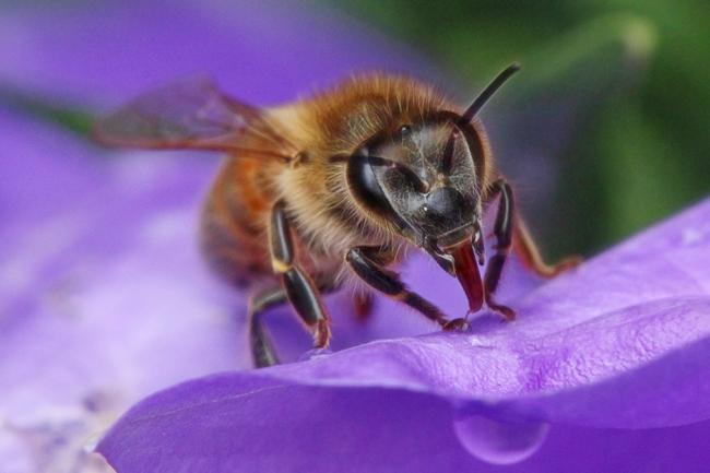 Honey-bee-mandibles