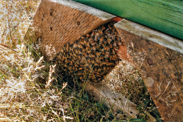 A cluster of absconding bees hanging beneath a hive stand.