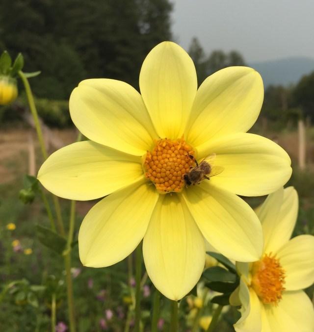 Bee on dahlia Ellen Gehling