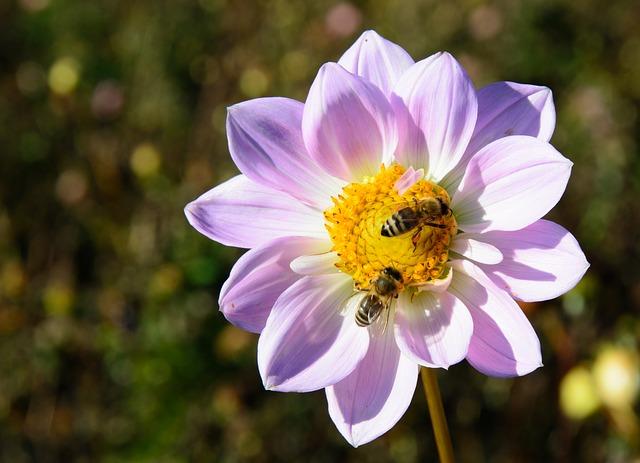 Honey bees on dahlia