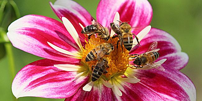 half-dozen-bees-dahlia