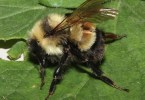 rusty-patched-bumble-bee-mj-hatfield