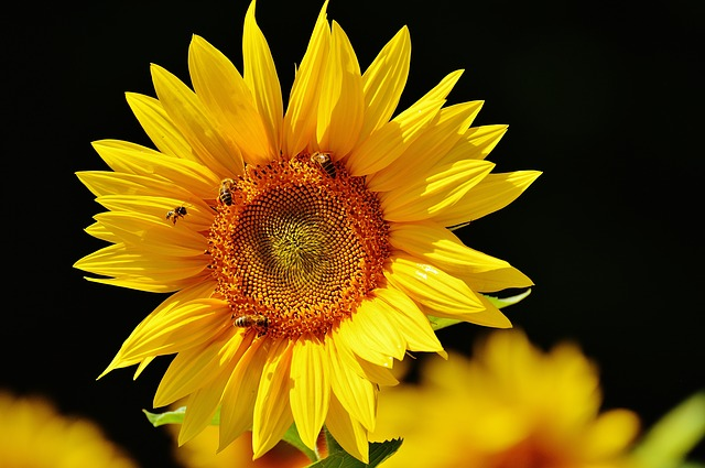 Honey bees pollinating a large yellow sunflower.