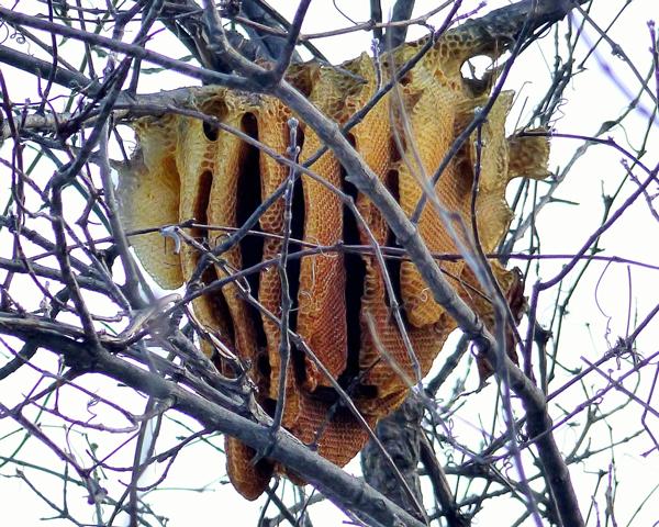 Free-hanging honey bee nest in Minnesota